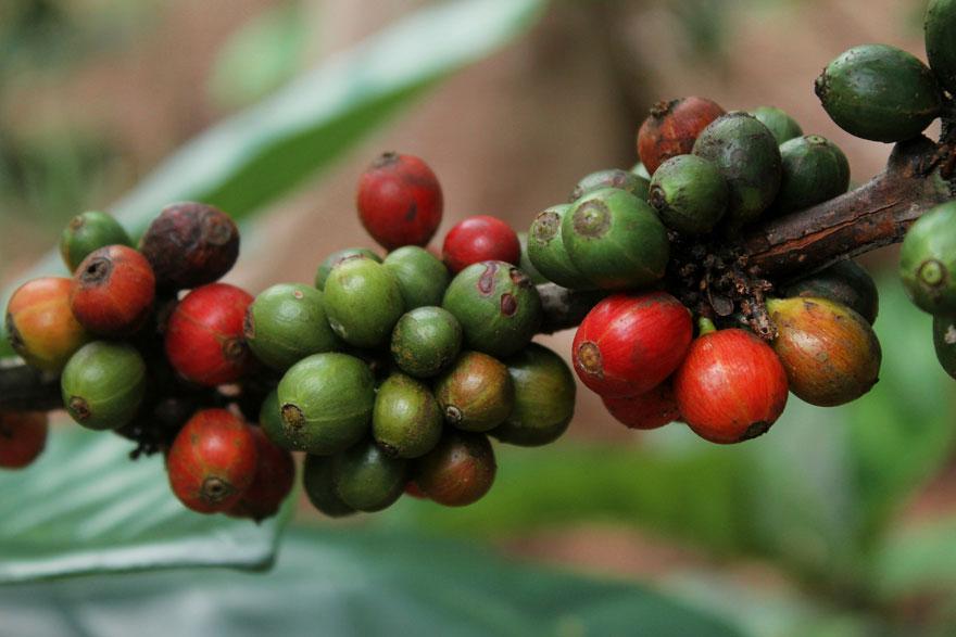 kaffeeanbau, coffee plant, kaffeeanbau, reife kaffeekirschen