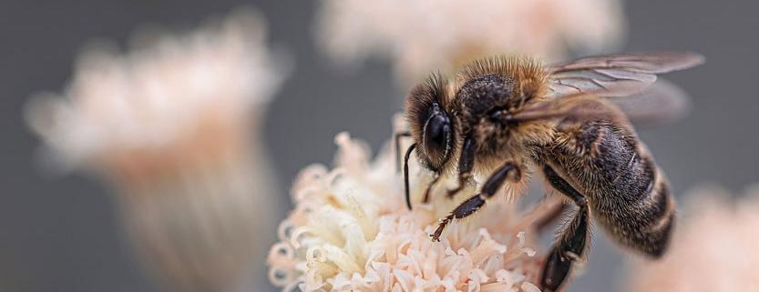 Wirkung von Koffein im Nektar auf Bienen